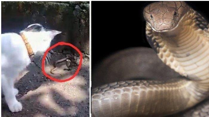 Aksi Kucing Lawan 3 Kobra di Mojokerto, 2 Ular Mati Digigit, 1 Lagi Lolos ke Halaman Rumah